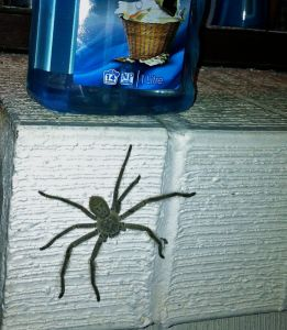A Huntsman spider the size of my palm, common in Australian households. Gross, but not poisonous.