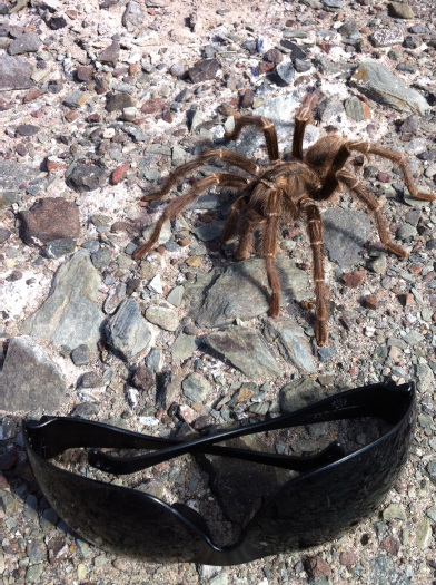 Yes, that tarantula really is the size of my sunglasses!